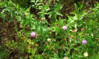 aspecto de viomal, lava-pé – Cheirolophus sempervirens