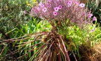 hábito característico em forma de ampulheta de gerânio-da-madeira, ou pássaras em plena floração - Geranium maderense