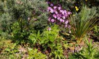 ramalhete florido de pássaras ou gerânio-da-madeira, composição - Geranium maderense