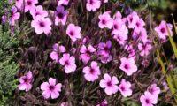 pássaras ou gerânio-da-madeira, vista parcial da floração esférica - Geranium maderense