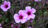 pormenor de flores completas de gerânio-da-madeira, pássaras, rodeadas por inúmeros pedúnculos revestidos de pêlos - Geranium maderense