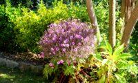 cimeira esférica de pássaras, gerânio-da-madeira em plena floração - Geranium maderense