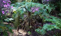 hábito característico de gerânio-da-madeira ou pássaras, com dois anos ou mais, antes da floração - Geranium maderense