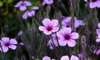 aspecto vaporoso da floração de gerânio-da-madeira ou pássaras - Geranium maderense