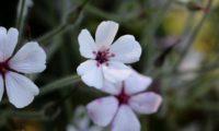 flor branca com o fundo magenta da variedade 'Guernsey White' pássaras, de gerânio-da-madeira - Geranium maderense