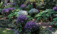 grupo misto de pássaras ou gerânios-da-madeira, rosa-magenta e brancon em floração - Geranium maderense