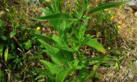 aspecto dos ramos e de páginas superiores de lava-pé, viomal – Cheirolophus sempervirens