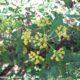 umbela terminal, vista de cima, folhagem de beleza, mata-boi - Bupleurum fruticosum