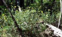 hábito florido e folhudo de beleza, mata-boi - Bupleurum fruticosum