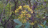 umbela terminal, flores carnudas e folhagem de mata-boi, beleza - Bupleurum fruticosum