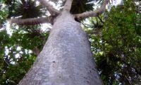 tronco e ramos, forma florestal de dragoeiro, árvore-dragão, dragoneiro, drago - Dracaena draco