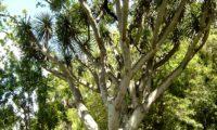 hábito florestal adulto de dragoeiro, árvore-dragão, dragoneiro, drago - Dracaena draco