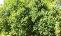 grupo de zêlhas adultas, ramagem veranil - Acer monspessulanum