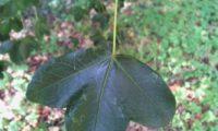 página superior brilhante de zêlha - Acer monspessulanum