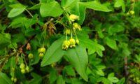 cacho de flores de zêlha, enguelgue, bordo-de-mompilher - Acer monspessulanum