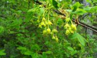 inflorescências de zêlha, enguelgue, bordo-de-mompilher - Acer monspessulanum