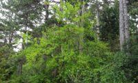 de zêlha jovem, no meio florestal - Acer monspessulanum