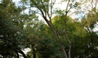 zêlha com cerca de 15 m de altura no meio florestal - Acer monspessulanum