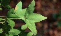 página inferior, trilobada de zêlha, enguelgue, bordo-de-mompilher - Acer monspessulanum