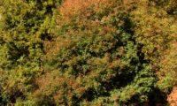 hábito colorido outonal de zêlhas - Acer monspessulanum