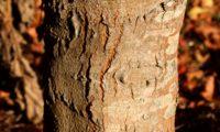 ritidoma jovem, rugoso, avermelhado, de zêlha, enguelgue, bordo-de-mompilher - Acer monspessulanum