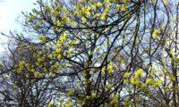 aspecto da floração de bordo-da-noruega, ácer-da-noruega, ácer-plátano - Acer platanoides