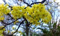 flores de bordo-da-noruega, ácer-da-noruega, ácer-plátano - Acer platanoides