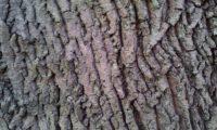 ritidoma de bordo-da-noruega, ácer-plátano - Acer platanoides