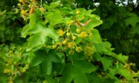 flores e princípio de frutificação de bordo-comum, ácer-comum, ácer-menor, ácer-silvestre - Acer campestre