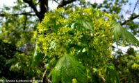 flores e folheação de bordo-da-noruega, ácer-plátano - Acer platanoides