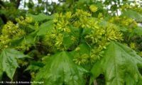 floração e folheação de bordo-da-noruega, ácer-da-noruega, ácer-plátano - Acer platanoides