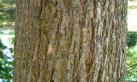 casca de bordo-comum, ácer-comum, ácer-menor, ácer-silvestre - Acer campestre
