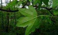 página inferior, verde pálido de bordo-comum, ácer-comum, ácer-menor, ácer-silvestre - Acer campestre