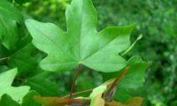 variedade de página superior de bordo-comum, ácer-comum, ácer-menor, ácer-silvestre - Acer campestre