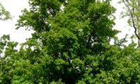 hábito florestal de bordo-comum, ácer-comum, ácer-menor, ácer-silvestre - Acer campestre