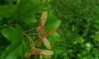 dissâmaras com asas avermelhadas de bordo-comum, ácer-menor - Acer campestre