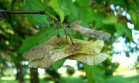 sâmaras maduras de bordo-comum, ácer-comum, ácer-menor, ácer-silvestre - Acer campestre