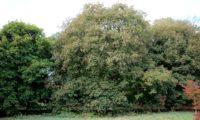 hábito colorido no fim de verão, bordo-de-granada - Acer opalus