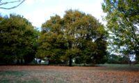 hábito outonal de bordo-comum, ácer-comum, ácer-menor, ácer-silvestre - Acer campestre