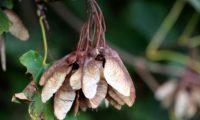 frutos globosos maduros de bordo-de-granada - Acer opalus