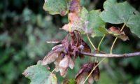 sâmaras maduras e folhas de bordo-de-granada - Acer opalus