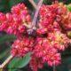 inflorescências masculinas purpúreo-amareladas da aroeira - Pistacia lenticus