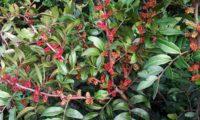 ramos cobertos por espigas de flores masculinas da aroeira - Pistacia lenticus