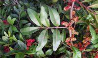 """flores masculinas e folha com os folíolos terminais em """"V"""" de aroeira - Pistacia lenticus"""