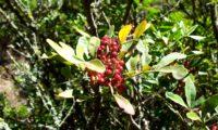 bagas imaturas de aroeira - Pistacia lenticus
