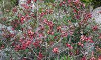 hábito de aroeira em frutificação - Pistacia lenticus