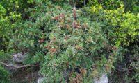hábito de aroeira em princípios de frutificação com folhagem - Pistacia lenticus