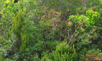 aroeira em frutificação com cortejo vegetal, num mato - Pistacia lenticus