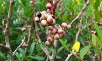 bagas imaturas, com coloração clara da aroeira - Pistacia lenticus
