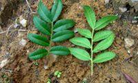 páginas superior e inferior de aroeira - Pistacia lenticus